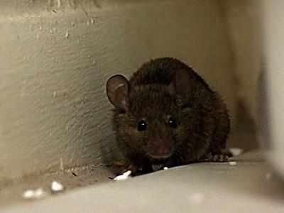 Infestations of rodents and other pests could become a problem during renovations.